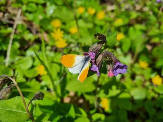Редкая краснокнижная бабочка была замечена в Щукинском парке