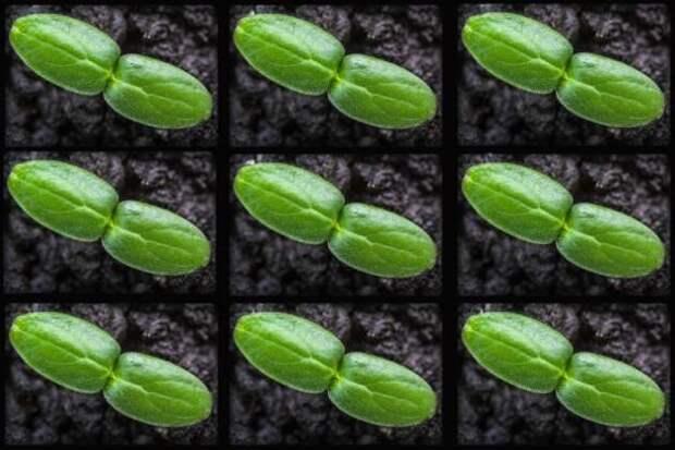 Опыт выращивания рассады огурца