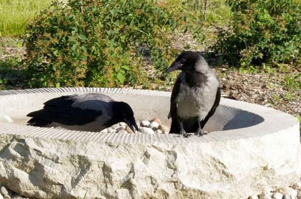 Серые вороны образуют пары на всю жизнь.