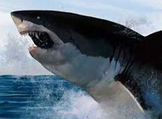 2- Черный дьявол из моря Кортеса акула, животные, людоед, океан