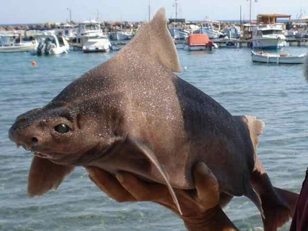 Итальянские рыбаки поймали удивительную акулу-поросенка