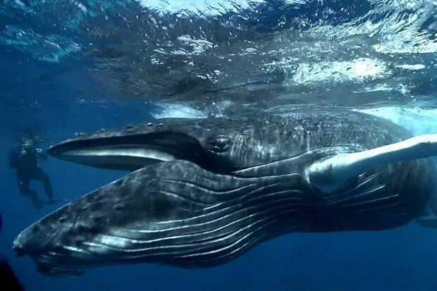 дайвер и синий кит
