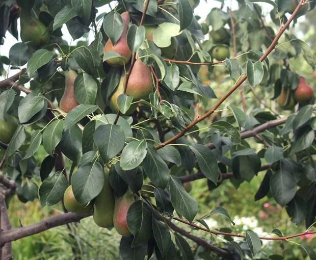 Весенняя подкормка для старого плодового дерева