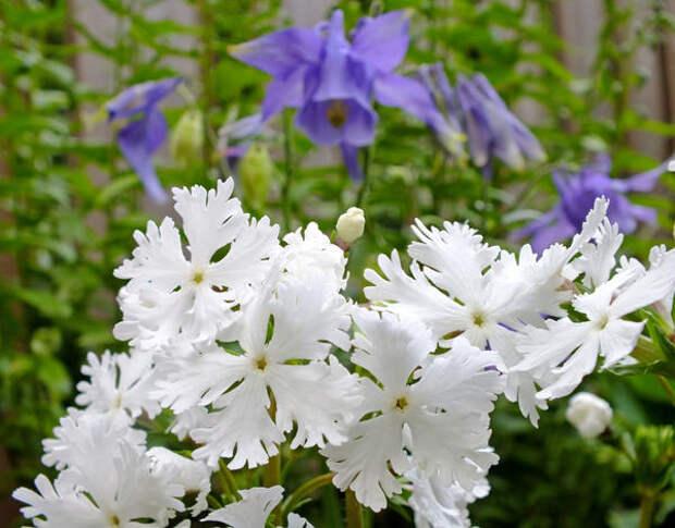 Примула Зибольда сорт Late Snow фото сайта botanicallyinclined.org