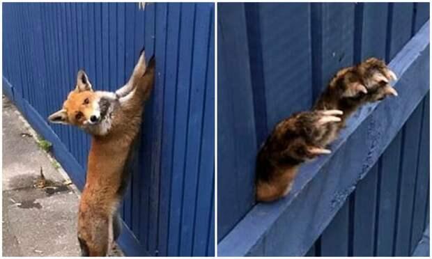 """""""Люди, помогите!"""": лисица застряла лапами в заборе, пытаясь его перепрыгнуть"""