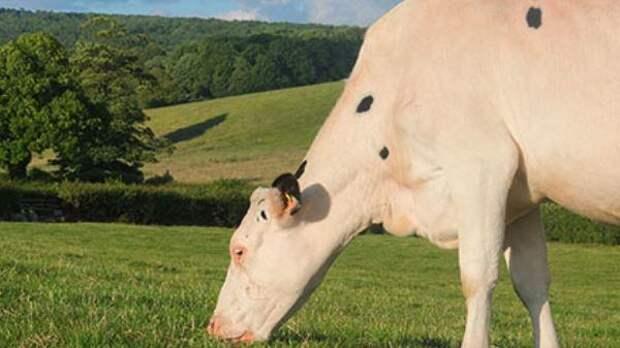 Корова по кличке Мальвина