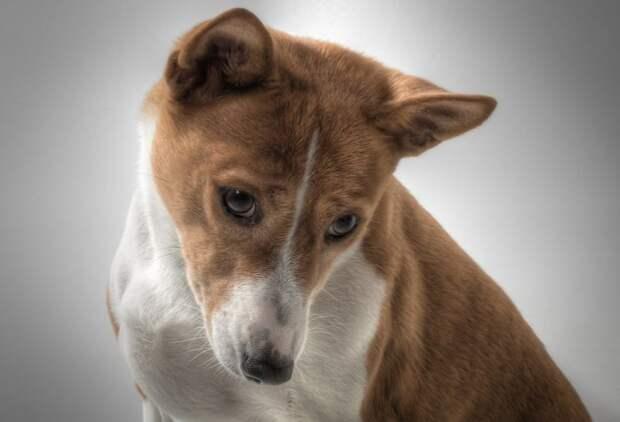 Собаки породы басенджи никогда не лают.