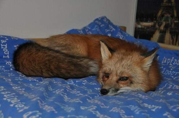 Парень забрал больного лисенка из меховой фермы, теперь это настоящая красавица лиса