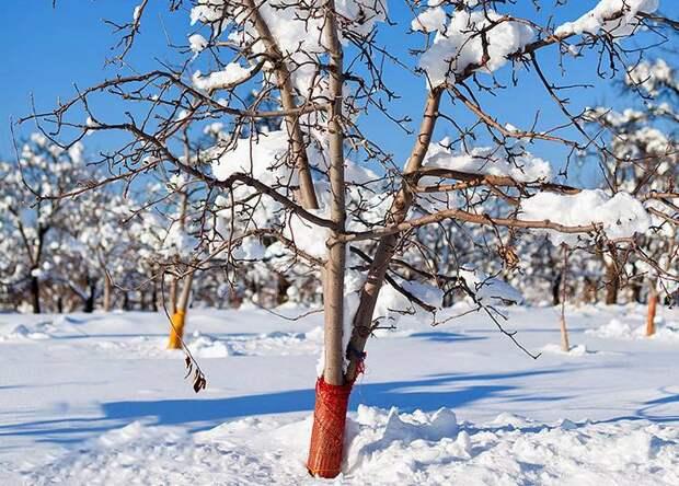 Как защитить сад от морозов?