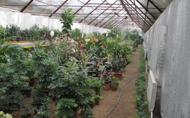1,5 тонны лимонов и другие тропические растения выращивает семья в подземной теплице