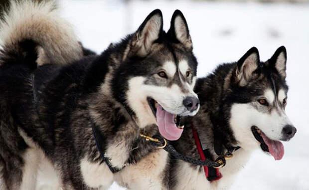 Вот почему в Антарктике больше нет (и скорее всего не будет) ни одной собаки