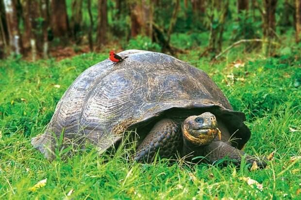 Галапагосская черепаха, фото