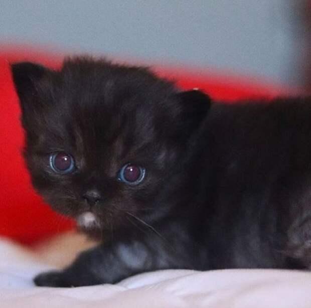 У Розуэл, как и у многих котят, появившихся на свет от Нарнии, такие же голубые глаза и это большая редкость.
