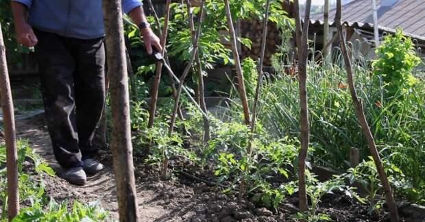 Чем нужно опрыскивать томаты в июне и июле