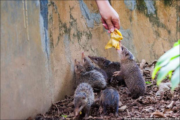 Мадагаскарские ежики