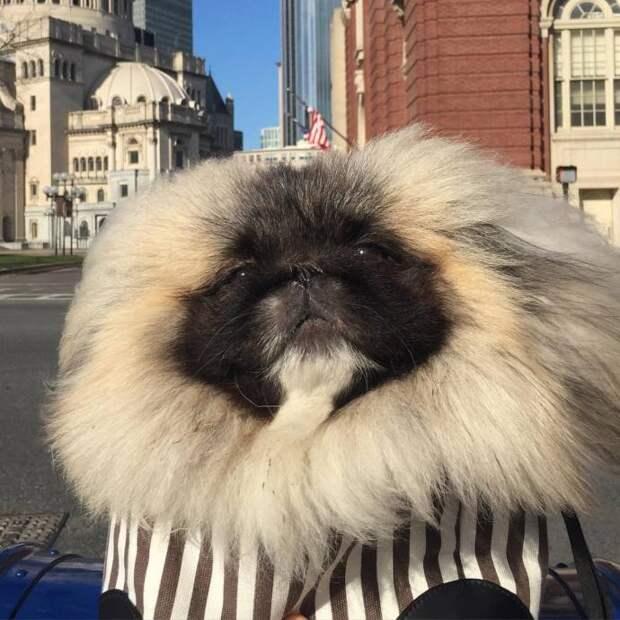 Пользователей соцсетей очаровал пекинес с необычной шерстью