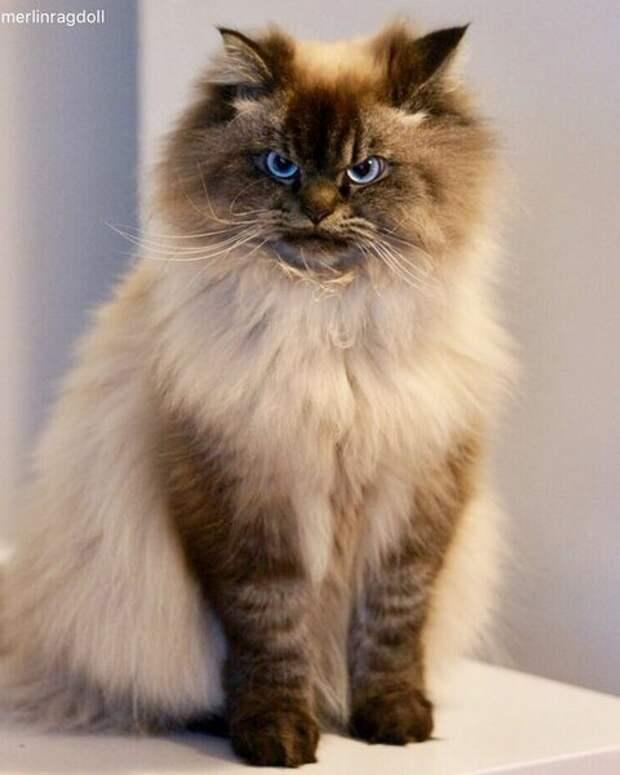 """Знакомьтесь с Мерлином - котом породы канадский рэгдолл, который """"ненавидит всех вокруг"""""""