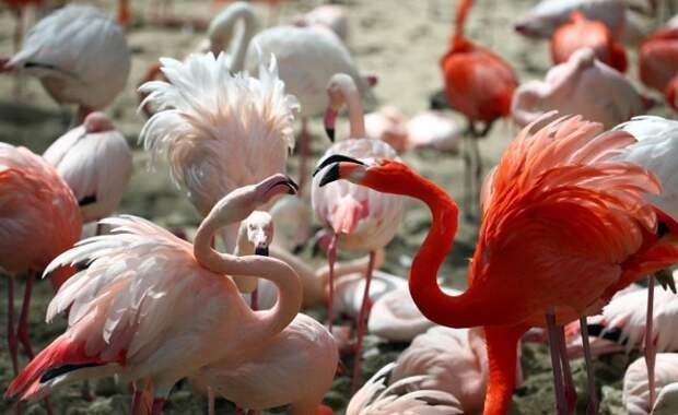Фламинго невозможно спутать ни с какой другой птицей из-за особенностей строения тела и удивительной окраски оперения.