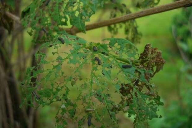 Спасаем калину от калинового листоеда