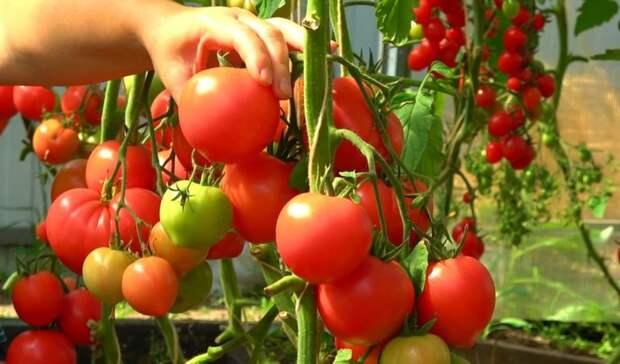 Отличная подкормка для богатого урожая томатов