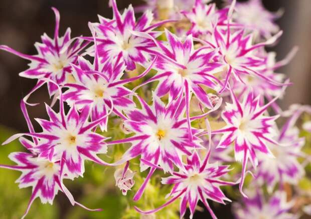 Beaufiful pink and white star Phlox, with star shaped flowers