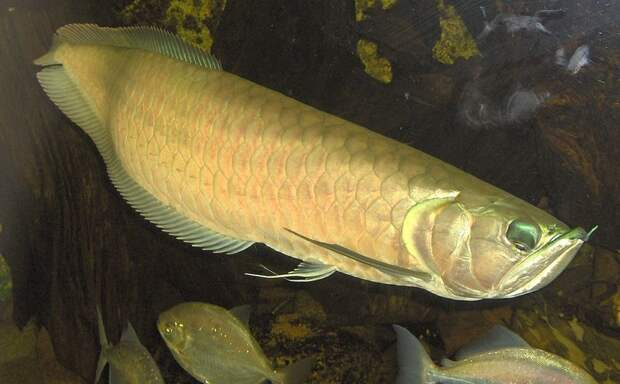 Арована аквариумные рыбки, животные, необычные рыбы, рыбы