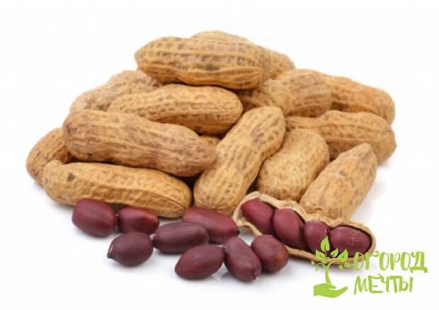 Сорта арахиса группы Валенсия