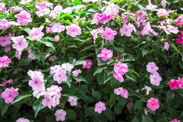 28 однолетников с розовыми цветками (фото, названия, описания)