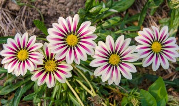 Gazania sunny flower.