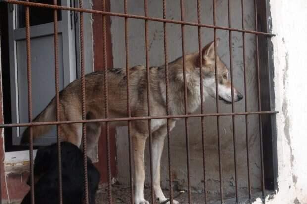 Волгоградец приютил у себя дома волка из Астраханской области в мире, волк, домашний питомец, животные, истории, люди