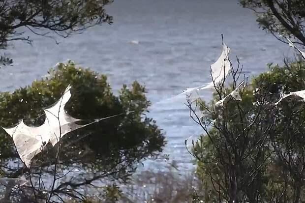Гигантские полотнища паутины окутали территорию Австралии