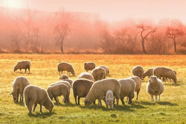 Овцы различают ядовитые растения.