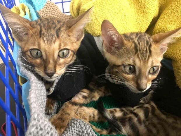 Спасение двух бенгальских котят, которых выбросили умирать на улицу