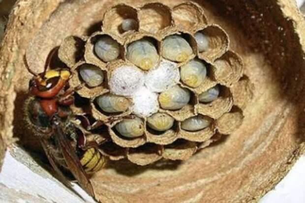 Шершень за 3 дня построил гнездо