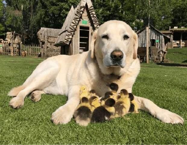 Лабрадор усыновил утят, когда лиса украла их маму