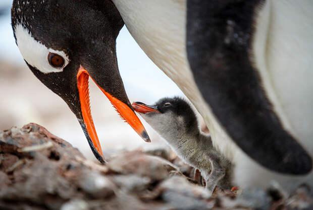 11 чудесных фотографий пингвинов в естественной среде обитания