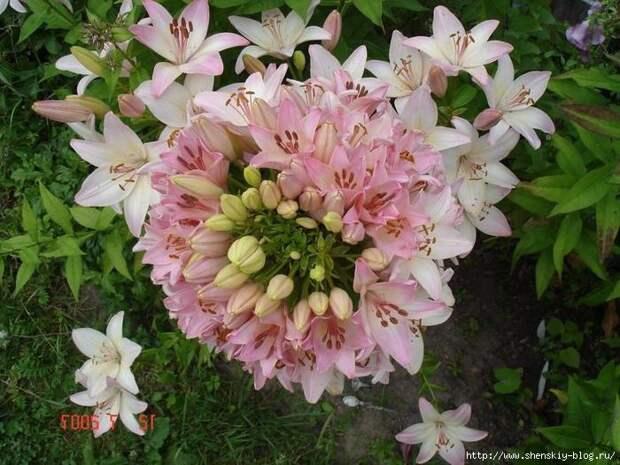 Удивительная лилия Марлен - 100 оттенков на одном стебле!