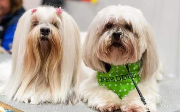 Собаки породы Лхаса апсо