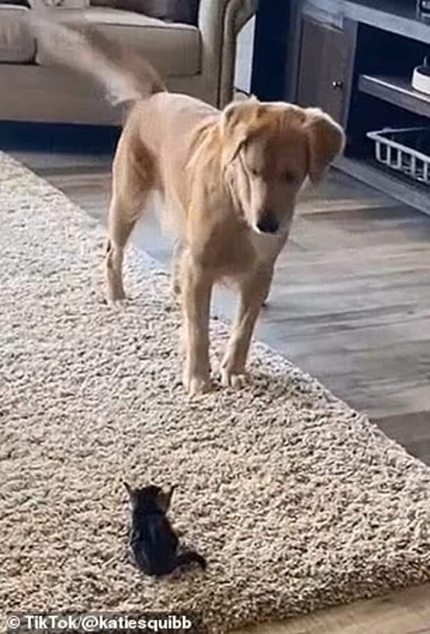 Покорило сердца миллионов: видео первой встречи золотистого ретривера с месячным котёнком