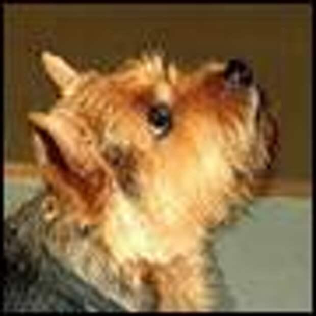 ТЕРЕМОК. Самые маленькие породы собачек (рост 15-30 см)