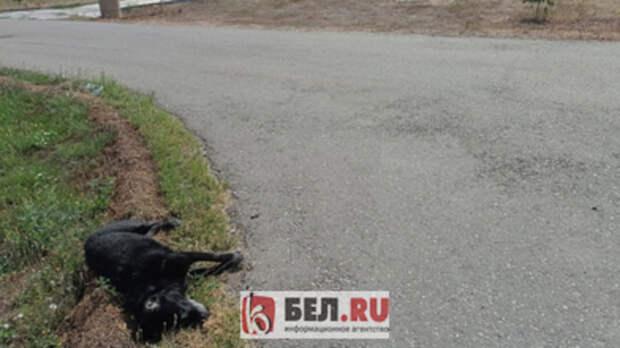 ВБелгородском районе неизвестный застрелил домашнего лабрадора