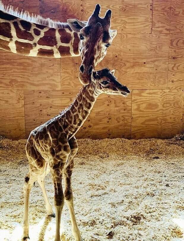 Рожающая жирафиха стала звездой интернета длинношеяя звезда, животные, жираф, жирафенок, зоопарк, нью-йорк, реалити-шоу, роды онлайн
