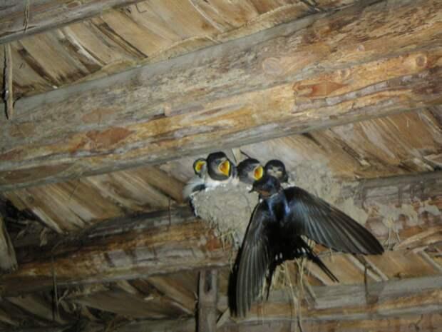Из жизни ласточек животные, птицы