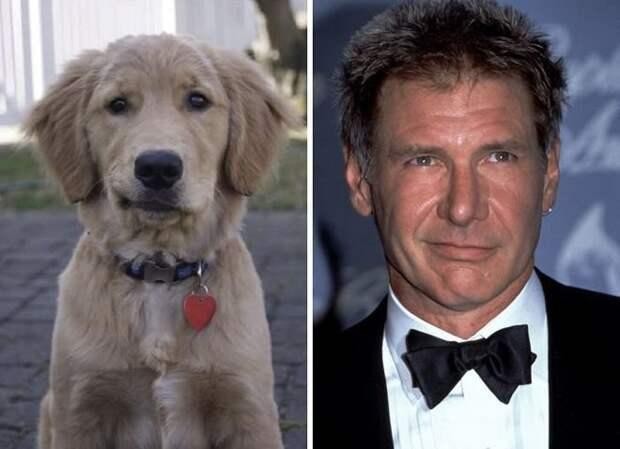 Не только светящие глаза, но и мимика делает щенка похожим на Харрисона Форда животные, копии, юмор
