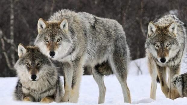 Зоологи из США выяснили, каким нетипичным занятием «промышляют» волки