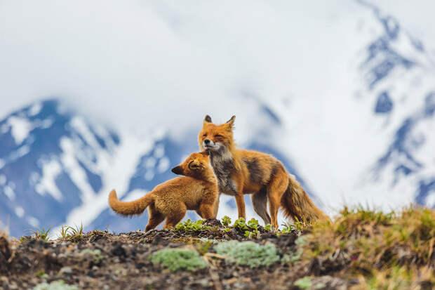 Лисы — одни из самых ярких представителей животного мира Камчатки