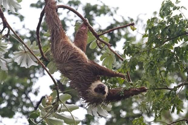 17 удивительных фактов о ленивцах 10