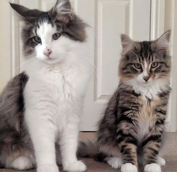 Клайв (справа) с братом - фото до побега животные, забавно, истории, история, коты, кошки, пропавшие