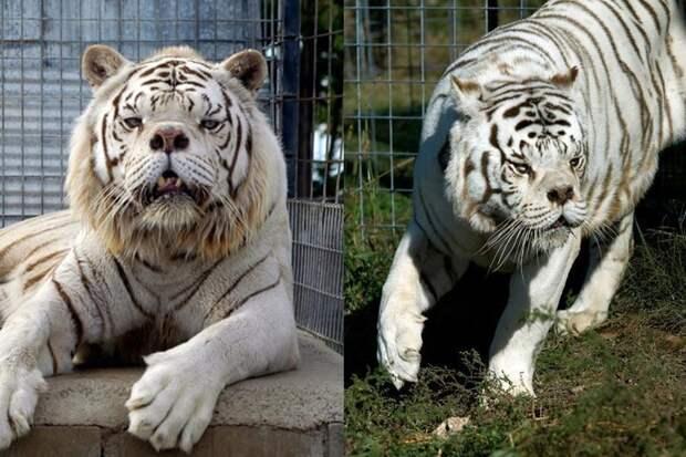 О чем молчат зоопарки: несчастные изгои белых тигров