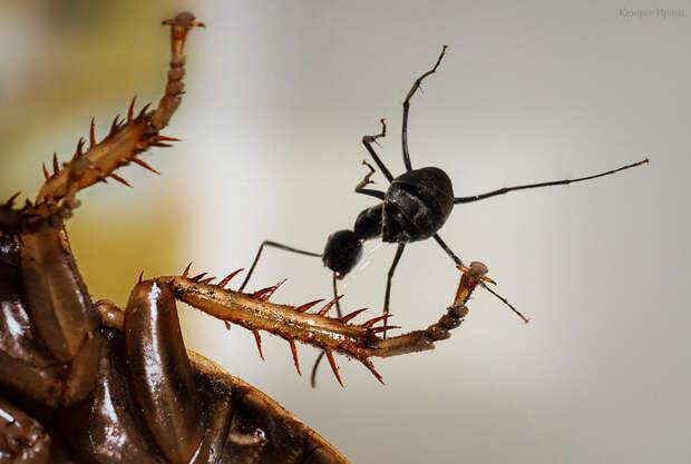 Во время боя муравей выстреливает кислоту